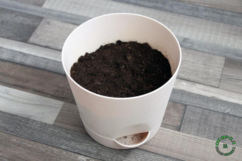 Как вырастить петрушку дома