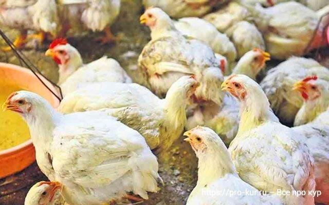Как давать рыбий жир цыплятам, несушкам и бройлерам 🧴🐔🐥