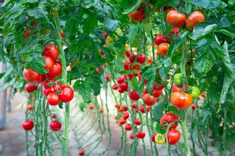 Как нельзя обрезать листья у томатов