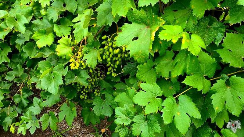 Лучший способ как определить, когда нужно поливать виноград